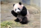 安倍访华拟租借中国大熊猫 日本民众高兴得不得了