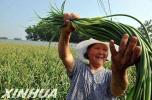 衡水饶阳县大尹村镇蔬菜产业铺就乡村振兴路